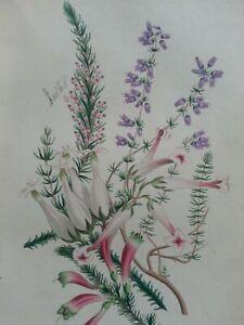 ANTIQUE PRINT DATED 1836 COMMON PURPLE HEATHER CORNISH & EXOTIC HEATH FLOWERS