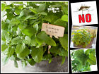500 LEMON BALM INSECT REPELLENT PERENNIAL HERB SEEDS - NO MOSQUITO !