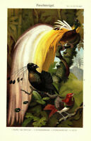 Paradis Oiseaux Vieux Pression Murale Antique Original 1897 Lithographie