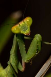 1 live Chinese Praying Mantis nymph L1-L2