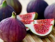 Plants Fig Live Trees Four Violette de Bordeaux 4 Plant Garden Outdoor Yard Gift