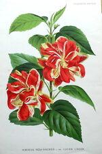 Chino Hibiscus rosa sinensis Linden antigüedad Original Impresión Botánica 1882