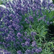 Kings Seeds - Lavender Munstead Dwarf - 200 Seeds