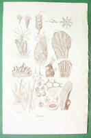 NATURAL HISTORY Anatomy of Zoophytes - 1836 Sepia Color Print