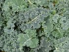 Kale Dwarf Blue Curled Scotch Nutritious Superfood 300+ Seeds