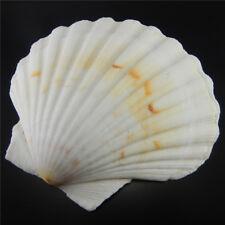 1 Stück natürliche Große Jakobsmuschel 9 -12 cm Muscheln Nautik Handwerk Dekor