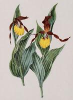 Botanische Darstellung eines Frauenschuhs, Orchidee, 20. Jh., Farbdruck