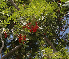 Kaffir Plum Harpephyllum caffrum✽6 Seeds✽Fruit Tree✽Bonsai✽Wines Jams✽Medicinal