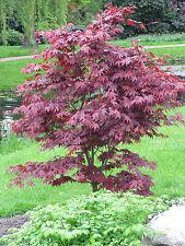 Roter Fächer Ahorn Acer palmatum Atropurpureum 40-60 cm