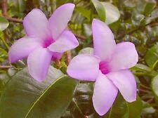 India Rubber Tropical Flowering Vine Plant Lavender Purple Bloom Fast Growing