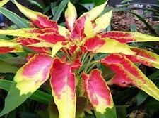 50+ AMARANTHUS TRI-COLOR FLAMING FOUNTAIN FLOWER SEEDS  ANNUAL    MOST COLORFUL