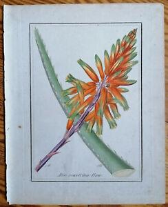 Winkler Originaldruck Koloriert Botanik Aloe soccotrinu - 1842