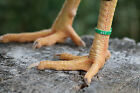 50 GREEN Numbered Poultry Zband Leg Bands ~ Fits Chickens,Geese,Ducks