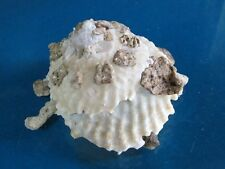 "Xenophora Granulosa 81.9 mm F++/++""beautiful shell carrier""!!!."