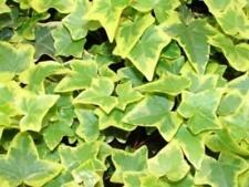Pack x6 Hedera (Trailing Ivy) Helix 'Golden Child'  LARGE Perennial Plug Plants