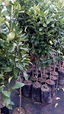 Piante di limone lunario quattro stagioni