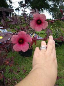 12+ Cranberry Hibiscus Cuttings