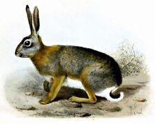 Rabbit Painting by Dutch  Joseph Smit. Canvas Animals.  11x14 Print