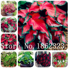 100 PCS Seeds Bonsai Japanese Caladium Bicolor Plants Rare Garden Free Shipping
