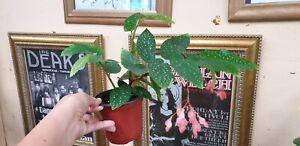 BEGONIA TAMAYA - HEALTHY LIVE PLANT IN 100MM POT (SEE DESCRIPTION)