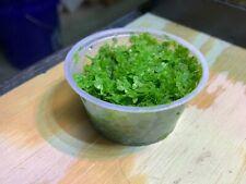 Duckweed Floating Aquarium Grown Live Plants  BUY 2 GET 1  FREE