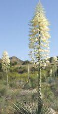 50 Seeds, Yucca angustissima Engelm. ex Trel., Narrowleaf Spanish Bayonet, Sword