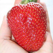 Riesen Erdbeere ca. 315 pcs Samen -Größte Erdbeere der Welt- Erdbeersamen