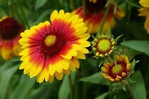 100 Graines de Gaillarde - fleurs plantes vivace - méthode BIO