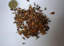 Ernest fir, abies recurvata, canadian sapin arbre de noël,, conifère. 100 graines