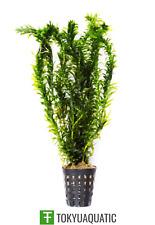 Anacharis Elodea densa en maceta planta tropical en vivo de acuario de agua dulce Decorar