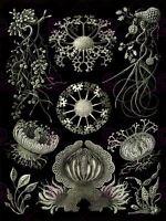 Nature Art Ernst Haeckel Plankton Sea Biology Germany Picture Canvas Art Print