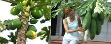 Melonenbaum, papaya, frutos propia, schnellwüchsig, exot, 11 semillas, 11 Seeds