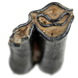 Fossil Moschusochse Backenzahn Praeovibos Priscus Molar m3 Quartär Pleistozän