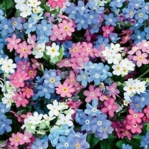 100 x Myosotis 'FORGET-ME-NOT' Seeds - Mixed Colour - Quality UK Seeds