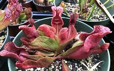 Sarracenia Purpurea (x1) - Purple Pitcher Plant - Bare Root Rhizome