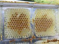 Wabenhonig 20 Behälter+Deckel für Langstroth Rähmchen 482x232 Honig im Behälter