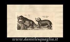 LONTRA VITULUS MARINUS FOCA ZOOLOGIA ANIMALI  INCISIONE ORIGINALE 1660