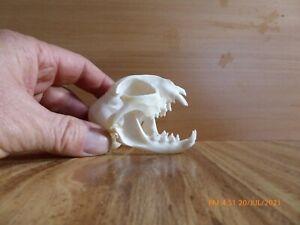 Medium size Feral Cat Skull good condition taxidermy hunting teeth jaw bone