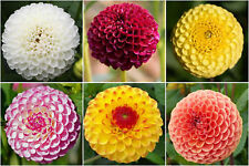 30 Samen Pompon-Dahlie Bunter Mix Dahlia Dahlien
