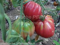 🔥 🍅 HERZTOMATE UKRAINE Tomate 10 Samen alte Sorte Tomaten samenfest