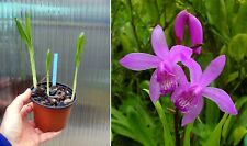 Bletilla striata, orchidée, Orchid