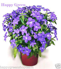 Browallia - Amethyst Flower - browalia americana - 400 seeds - Rare easy to grow