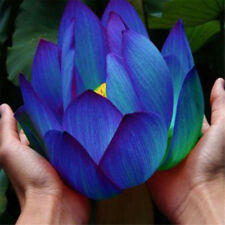 10pcs Flower Seeds Blue Lotus Seeds Aquatic Plants Water Lily Plants!Rare Lotus
