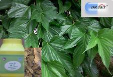 DR T&T 100g  mulberry leaf  / sang ye powder (1:7)