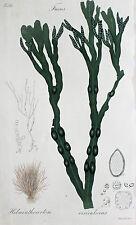Fucus Vesiculosus Blasentang Bladder Wrack Seaweed Alge Tang Gas Blasen Meer