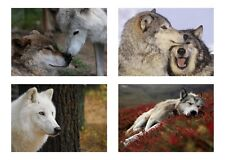4 Wolf / Wolves 5 x 7 / 5x7 Glossy 4 Photo Picture Lot 2