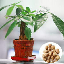 1 Seed Pachira Tree Money Plant Bonsai Home Gardening Indoors/Outdoor Pot Unique