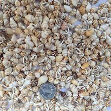 Lot of 50 Natural Sea Conch Shells Sea Shells Beads DIY Crafts Nautical Decor