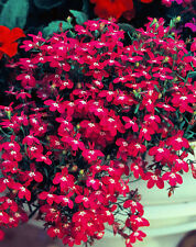 LOBELIA ROSAMOUND - 7000 seeds - Lobelia Erinus - CARMINE - ROSE WITH WHITE EYE