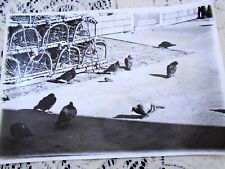 B&W Photo Nova Scotia Small Bird Sparrow Surrounded by Pigeons Lobster Traps